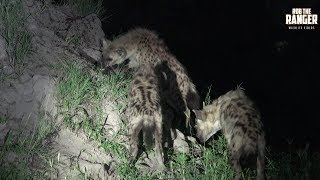 The youngsters of the Eastern hyena clan catching teermites!Filmed at Idube Game Reserve in the Sabi Sand Wildtuin, Greater Kruger National Park, South Africa (http://www.idube.com/static)Filmed in 4K UHD resolution using the Sony AX100 video cameraSubscribe for more great wildlife clips: http://goo.gl/VdOHuSFollow #nowfilming on social networks for LIVE photo updatesROB THE RANGER WILDLIFE VIDEOS on Social Networks:TWITTER: http://goo.gl/U8IQGfBLOG: http://goo.gl/yJJ3pTFACEBOOK: http://goo.gl/M8pnJhGOOGLE+: http://gplus.to/robtherangerTUMBLR: http://goo.gl/qF6sNS#YouTubeZA#YouTubeSSA#SAYouTubers