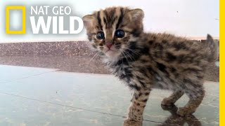This Rescued Kitten Isn't Just Any Cat—It's a Wild Leopard Cat | Nat Geo Wild by Nat Geo WILD