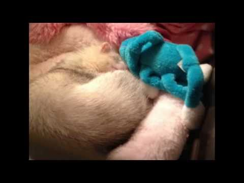 my ferret and her favorite stuffed animal
