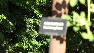 #961 Die Englische Ramblerrose Kew Rambler