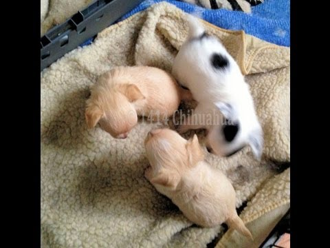 Shakiras (Chihuahua) fødsel af 3 hvalpe.