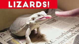 This all lizard and reptile weekly comp from Funny Pet Videos is filled with hilarious bloopers and reaction shots from the funniest lizards Iguanas, Bearded Dragons and more of your favorite reptiles! Send us a link to your video if you would like to see it in one of our compilations.https://docs.google.com/forms/d/1sR5Y6PyFGOpIMp6-j6XDAH3J07naG4ruRAfXyTOWZRE/viewform?c=0&w=1Check out more Funny Dog Videos ► https://www.youtube.com/watch?v=7zZU-5uPHdQ&list=PLf6Ove6NWsVcM75fCjLk3i-9IkpCmPyXw&index=3Funny Cat Videos ► https://www.youtube.com/watch?v=BoM9-bXzDjk&list=PLf6Ove6NWsVeM5MOVs_Yzj3AsV41DfQ9R&index=1Click here to Subscribe ► https://www.youtube.com/user/tailsnfails?sub_confirmation=1Welcome to Funny Pet Videos, a channel dedicated to cute, fluffy cats and curious, rambunctious dogs. We are here to fill your life with more furry and funny things the adorable friends in our lives do. Every Thursday, Friday, Saturday and Sunday we'll have a new compilation of the funniest home videos of cats, dogs, birds and all kids of animals being equally hilarious and adorable. Be sure the Subscribe to our channel to never miss one! So sit back, relax and have a laugh on us. For licensing information contact us at licensing@collabcreators.com. We'd love to have your furry friend on our channel!