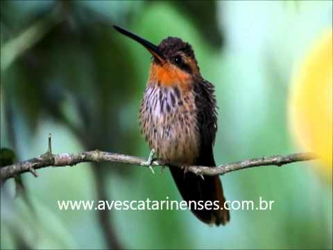 Beija-flor-rajado - Cristiano Voitina