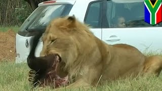 Video Un lion dévore une touriste américaine lors d'un safari en Afrique du Sud MP3, 3GP, MP4, WEBM, AVI, FLV Oktober 2017