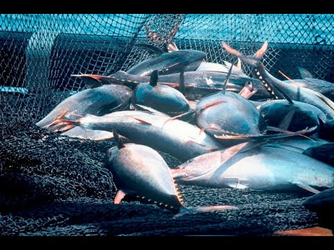Đánh bắt cá ngừ đại dương thì phải hoành tránh như thế này -  Tuna fishing industry  (720p HD)