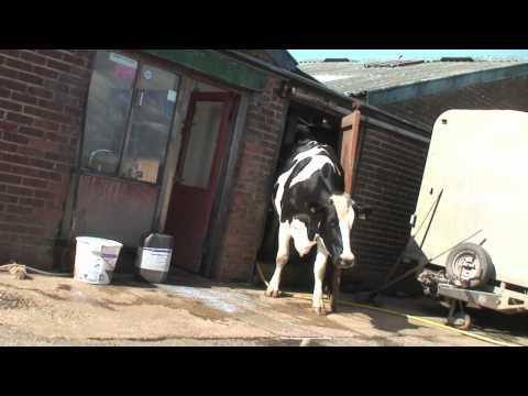 Cow wrecking milking parlour door