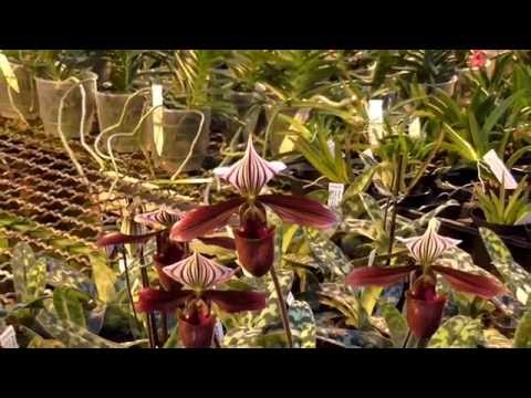 Orchideen Arten: Paphiopedilum prurpuratum