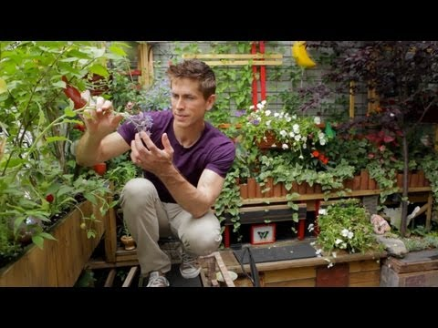 gardener - Brooklyn patio getaway garden in Williamsburg beautifully decorated in vines and edible flowers. Urban Gardener is a video series dedicated to exploring some...