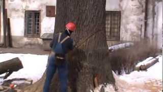 Jak obala się drzewo o średnicy pnia ponad 1.5 metra?! Profesjonalista w akcji :D
