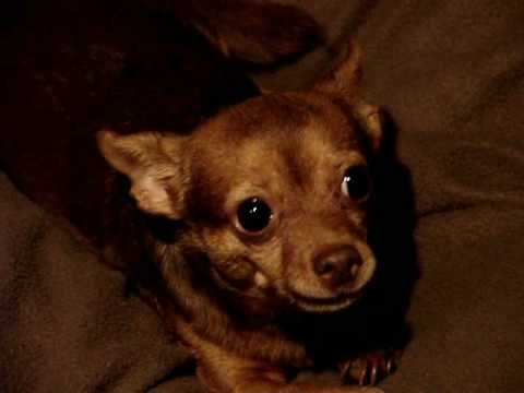 "Talking Chihuahua says ""I Love You"""