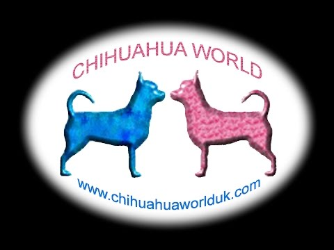 Chihuahua Puppies 18th January 2015