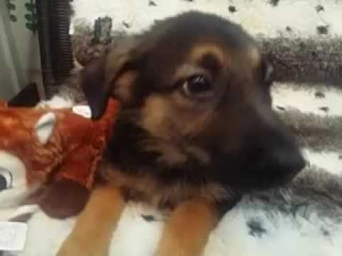 GORGEOUS AKC GERMAN SHEPHERD PUPPY!
