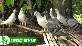Chăn nuôi bồ câu | Chim bồ câu bị bệnh và những lưu ý khi dùng vacxin để tiêm