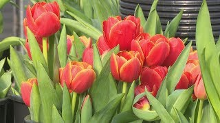 Tulpju laiks ''Sedumi'' dārzniecībā