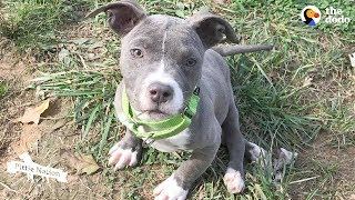 Pittie Puppy Sets Her Mind To Do The Impossible | The Dodo Pittie Nation by The Dodo