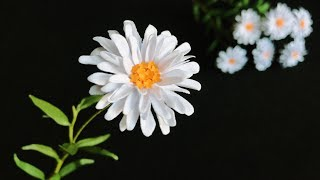 ABC TV   How To Make Daisy Paper Flower #4   Flower Die Cuts - Craft Tutorial