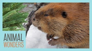 Huckleberry the Beaver Gets a Tree! by Animal Wonders