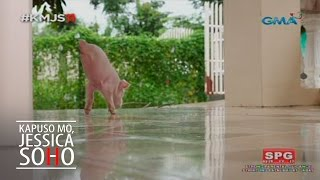 Aired: September 4, 2016 Meet Lucky, a famous pet pig in Bacarra, Ilocos Norte because of its cuteness despite the awkwardness of having only two legs. Watch...