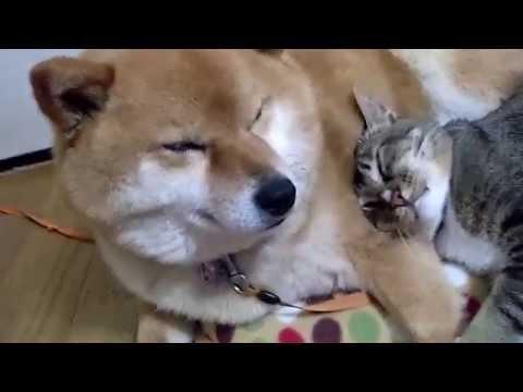 難搞的柴犬竟被虎斑貓收服,即便是腳麻到一個不行仍不敢亂動,直到牠撐不住後竟...