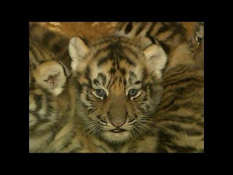 Sizihar/China: Fünf Tigerbabys geboren