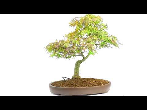Specimen Mature Japanese Maple Bonsai (Acer palmatum) (видео)