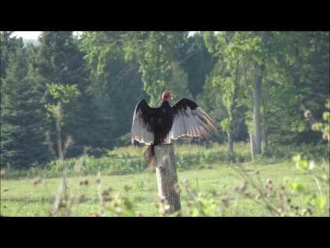 Airgun Multi-Hits - Ep. 4 - Long shots on Starlings (BIRD HUNTING)
