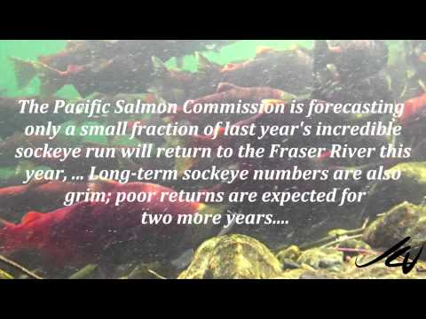 Adams River BC Sockeye Salmon – YouTube HD