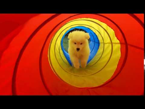 Cute Samoyed Puppy in Tunnel FOR SALE OCTOBER 2017