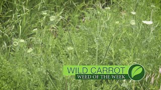 Learn how to get wild carrot under control on and around your farm.
