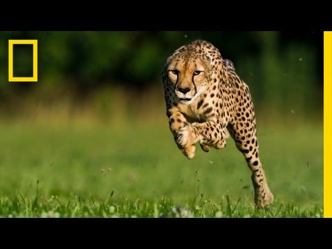 Cheetahs - Cinematographer Greg Wilson uses innovative motion picture technology to capture slow-motion images of cheetahs in action, helping us expand our understandin...