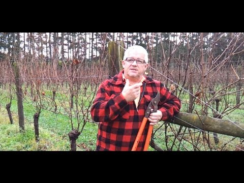 How to Spur Prune grapevines with Jaison Kerr at Kerr Farm Vineyard