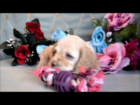 Star AKC Silver Buff Female Cocker Spaniel Puppy for sale