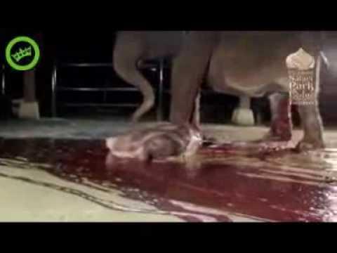 Nacimiento de un elefante...!!!