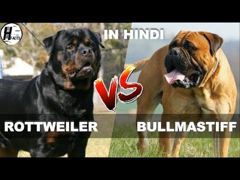 Rottweiler VS Bullmastiff | Hindi | COMPARISON | DOG VS DOG | HINGLISH FACST
