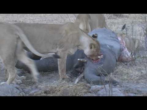 Lion Kill  (Feeding on a young Elephant)