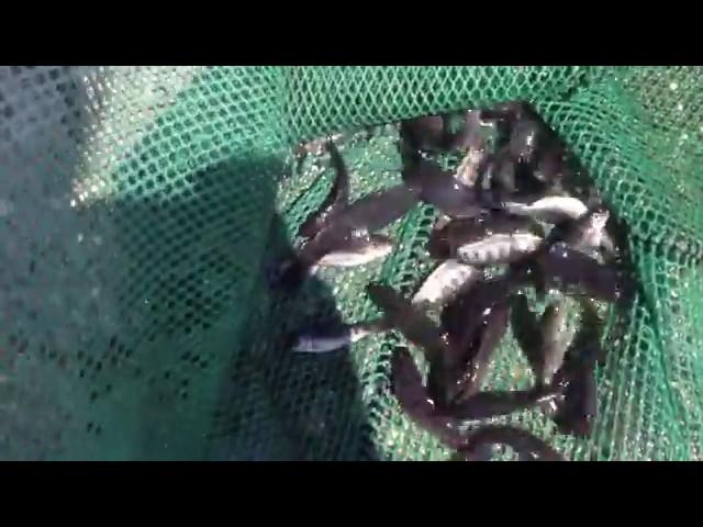 Перекачка рыбы форель до 5 г с помощью насоса PESCAMOTION 4'   FAIVRE RU