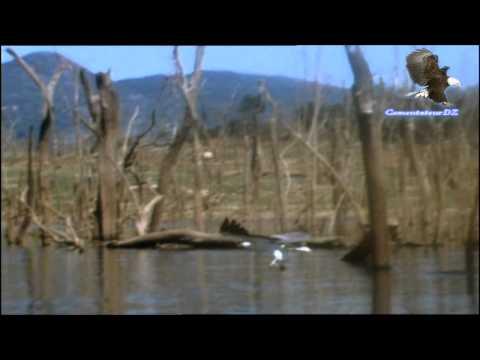 Le balbuzard, meilleur pêcheur du monde?