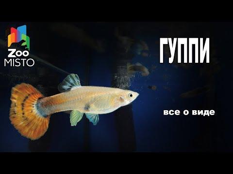 Гуппи - Все о аквариумной рыбке