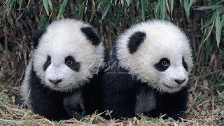funny  panda 熊貓好痕呀 パンダそう痒