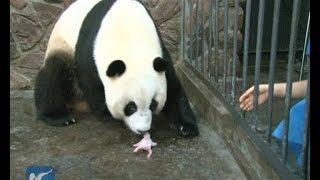 Video Giant panda cub dies 5 days after birth MP3, 3GP, MP4, WEBM, AVI, FLV Juni 2017