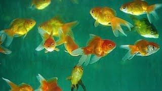 Video Aquarium Fish | How It's Made MP3, 3GP, MP4, WEBM, AVI, FLV Juni 2017