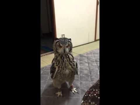 Owl Chasing Toys