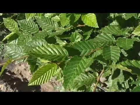 Fotos de rboles de hoja caduca plantas for Arbustos de hoja caduca