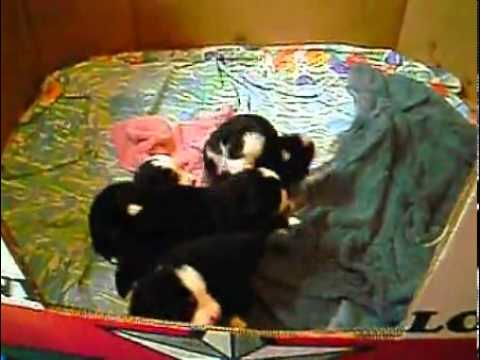 Beautiful Bernese puppies