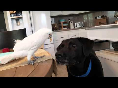 Cockatoo Feeds Dog