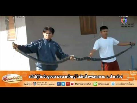 งูจงอาง - คลิปเหตุการณ์เจ้าหน้าที่กู้ภัยและผู้เชี่ยวชาญจับงูจงอางขนาดใหญ่...