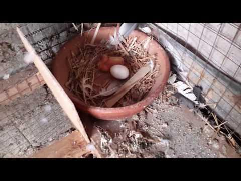 Video Kalapati | Breeding Racing Pigeon Day1 download in MP3, 3GP, MP4, WEBM, AVI, FLV January 2017