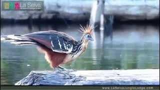 Hoatzin Stinkbird on Lake Garzacocha - La Selva Amazon Ecolodge & Spa - Ecuadorian Amazon