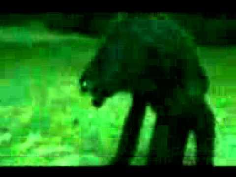 Lobizon o Luisón real filmado de noche