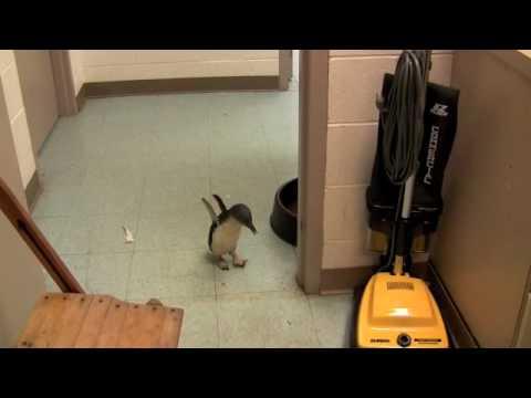 這隻闖進辦公室要尋找保母的企鵝寶寶發現目標後,牠超激萌的反應讓大家都被萌壞了!
